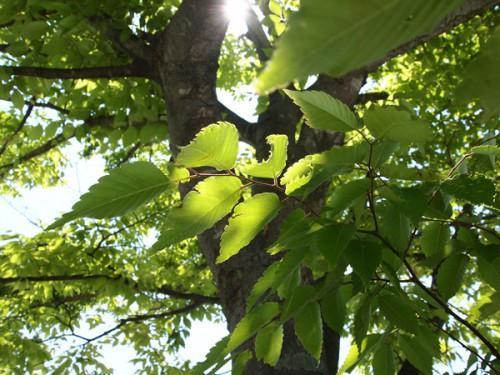 緑が美しい桜の葉