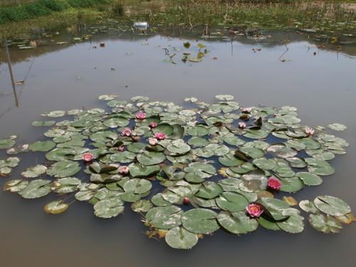 150519 福島県福島市花見山公園の情報 睡蓮