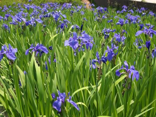 150519 福島県福島市花見山公園の情報 カキツバタ 菖蒲