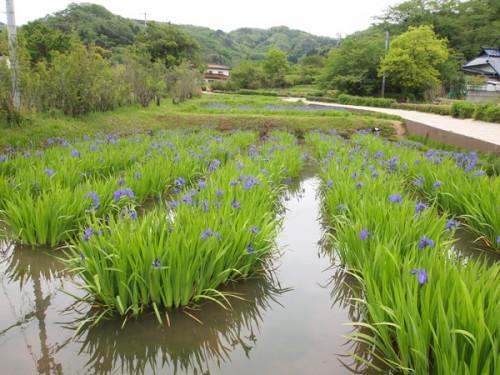 福島県福島市花見山公園の情報 カキツバタ