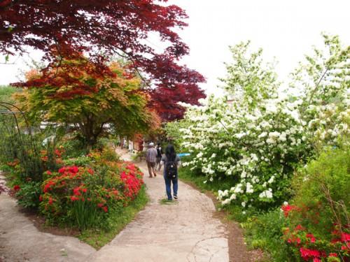 福島県福島市花見山公園の情報 オオデマリ