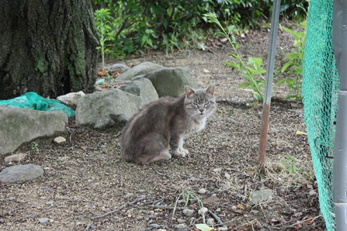 6233 福島県福島市花見山公園の情報 2016年6月15日 猫(ネコ)