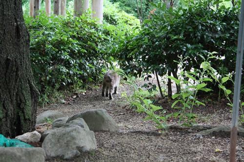 6234 福島県福島市花見山公園の情報 2016年6月15日 猫(ネコ)
