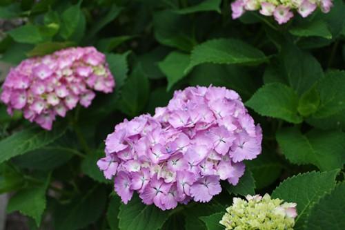 6237 福島県福島市花見山公園の情報 2016年6月15日 紫陽花(アジサイ)