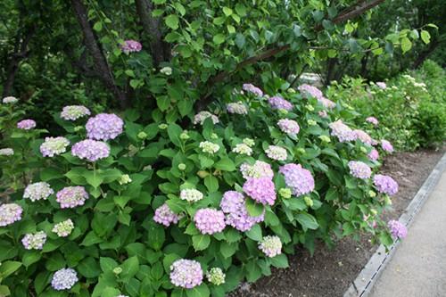 6238 福島県福島市花見山公園の情報 2016年6月15日 紫陽花(アジサイ)
