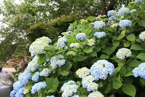 6241 福島県福島市花見山公園の情報 2016年6月15日 紫陽花(アジサイ)