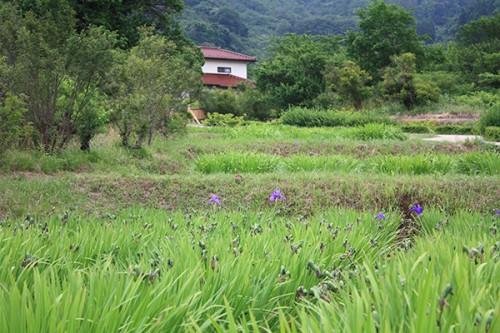 6245 福島県福島市花見山公園の情報 2016年6月15日