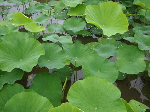160706h3 福島県福島市花見山公園の情報 2016年7月6日  蓮の葉
