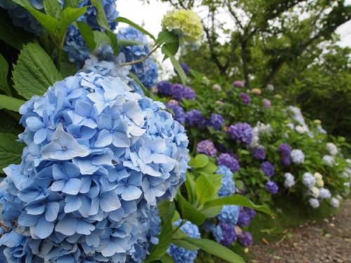 160706h7 福島県福島市花見山公園の情報 2016年7月6日 紫陽花