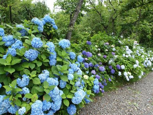 160706h8 福島県福島市花見山公園の情報 2016年7月6日 紫陽花