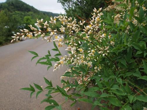 160706h9 福島県福島市花見山公園の情報 2016年7月6日 南天の花