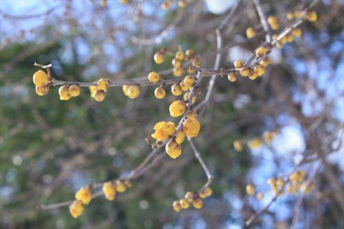 福島県福島市花見山公園の情報2017年1月17日 IMG_7714