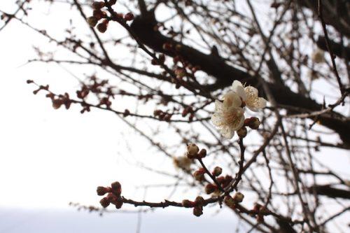 福島県福島市花見山公園の情報2017年2月22日 IMG_7781