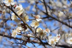 福島県福島市花見山公園の情報2017年3月17日 IMG_7797