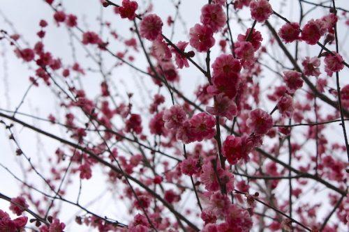 福島県福島市花見山公園の情報2017年3月31日 IMG_7861