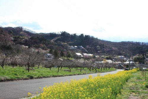 福島県福島市花見山公園の情報2017年4月7日花の谷コース
