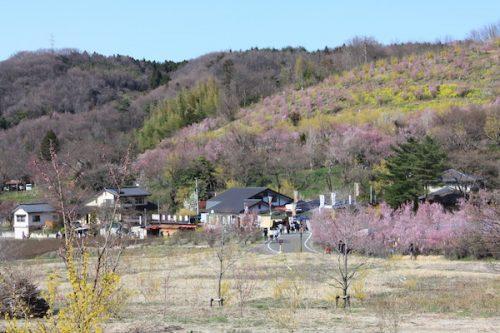 福島県福島市花見山公園の情報2017年4月7日 IMG_7959