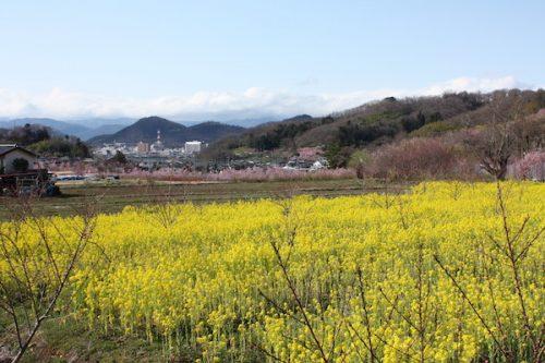 福島県福島市花見山公園の情報2017年4月7日 IMG_7967