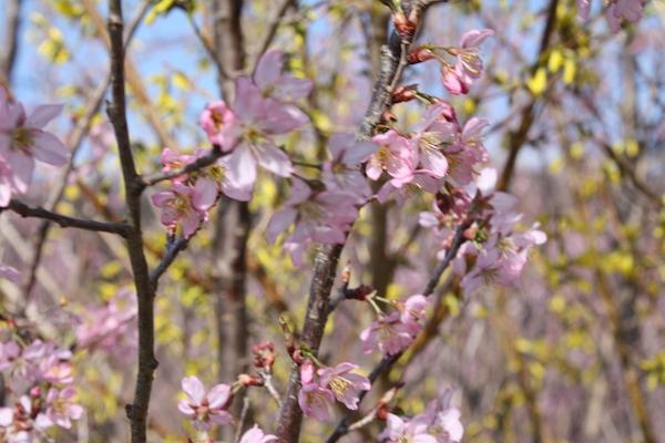 福島県福島市花見山公園の情報2017年4月7日 IMG_7973