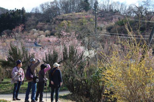 福島県福島市花見山公園の情報2017年4月7日 IMG_7978