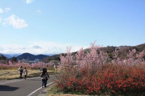福島県福島市花見山公園の情報2017年4月7日 IMG_7992