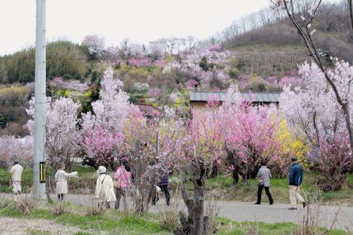 福島県福島市 花見山公園の情報2017年4月13日 IMG_8009