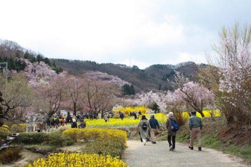 福島県福島市 花見山公園の情報2017年4月13日 IMG_8010