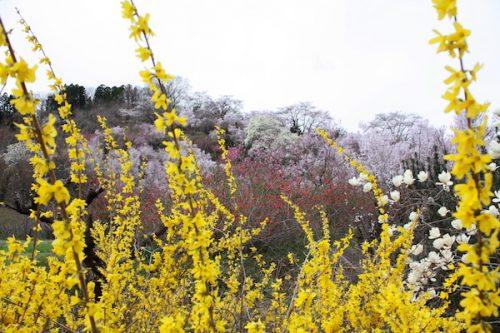 福島県福島市 花見山公園の情報2017年4月13日 IMG_8027