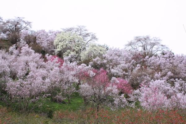 福島県福島市 花見山公園の情報2017年4月13日 IMG_8036