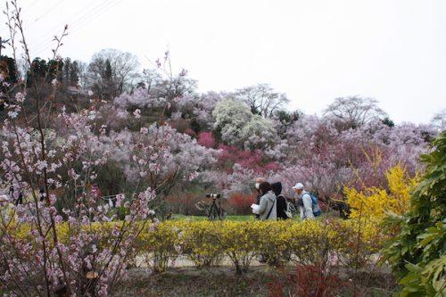 福島県福島市 花見山公園の情報2017年4月13日 IMG_8039