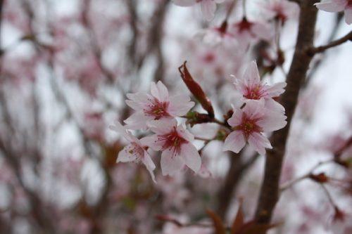 福島県福島市 花見山公園の情報2017年4月13日 IMG_8063