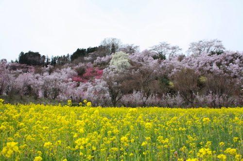 福島県福島市 花見山公園の情報2017年4月13日 IMG_8068