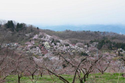 福島県福島市 花見山公園の情報2017年4月13日 IMG_8083