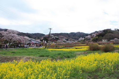 福島県福島市 花見山公園の情報2017年4月18日 IMG_8130