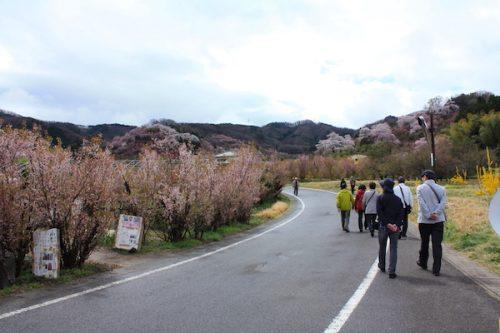 福島県福島市 花見山公園の情報2017年4月18日 IMG_8133