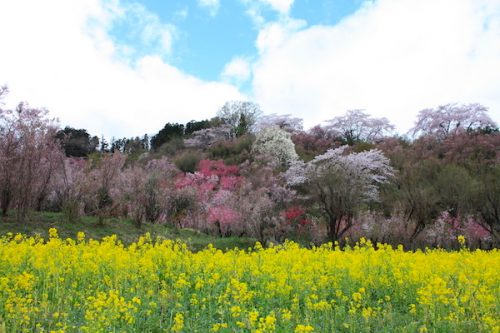 福島県福島市 花見山公園の情報2017年4月18日 IMG_8146