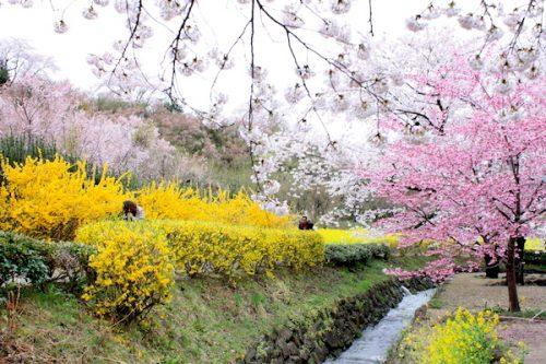 福島県福島市 花見山公園の情報2017年4月18日 IMG_8148