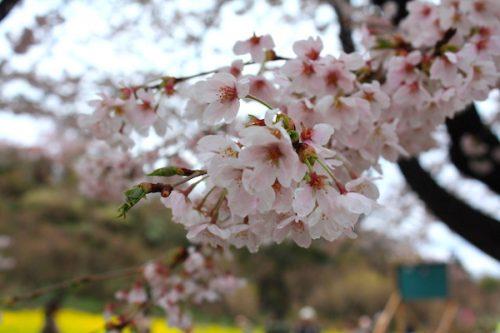 福島県福島市 花見山公園の情報2017年4月18日 IMG_8153