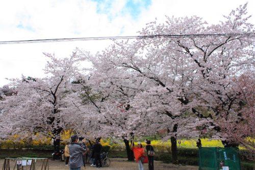 福島県福島市 花見山公園の情報2017年4月18日 IMG_8155