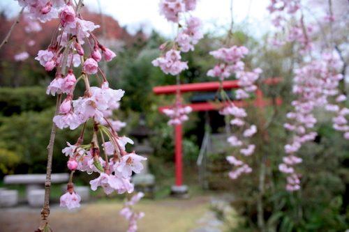 福島県福島市 花見山公園の情報2017年4月18日 IMG_8173