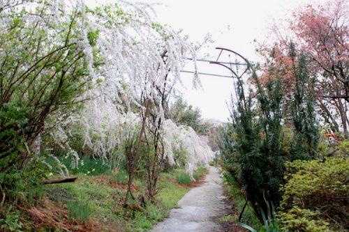 福島県福島市 花見山公園の情報2017年4月18日IMG_8177