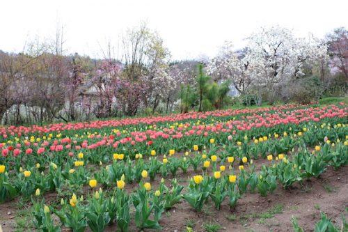 福島県福島市 花見山公園の情報2017年4月18日 IMG_8181
