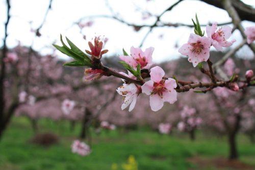 福島県福島市 花見山公園の情報2017年4月18日 IMG_8201
