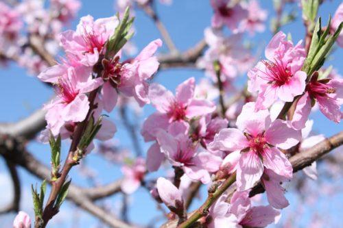 花のブランド 福島桃の花