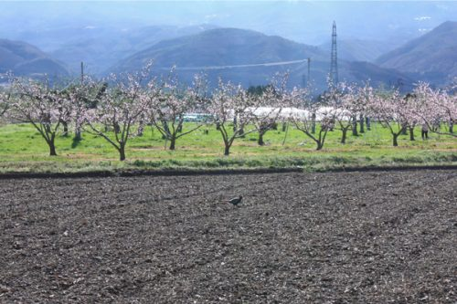 福島桃畑と雉