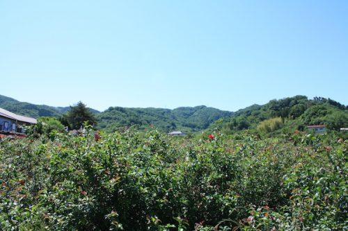 福島県福島市 花見山公園の情報2017年5月29日 IMG_8888