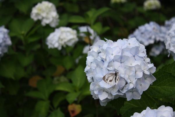 福島県福島市 花見山公園の情報2017年7月4日 IMG_9065