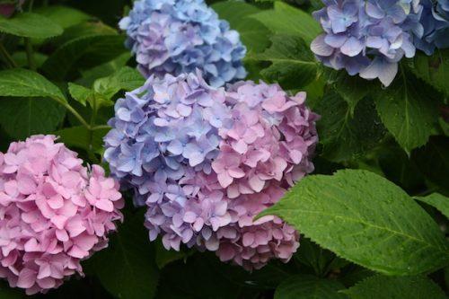 福島県福島市 花見山公園の情報2017年7月4日 IMG_9068