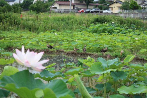 福島県福島市 花見山公園の情報2017年7月20日 IMG_9169