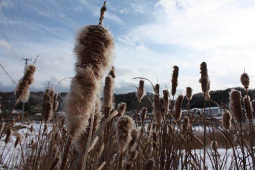 福島県福島市 花見山公園の情報2018年1月5日  がま 180105H9845